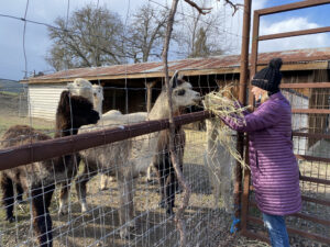 Oso Libre Alpacas Being Fed By Kristin
